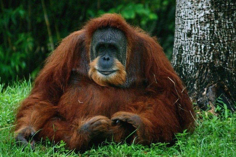 Ape Tag - Orangutan Mammal Ape Mac Desktop Backgrounds Animals for HD 16:9  High