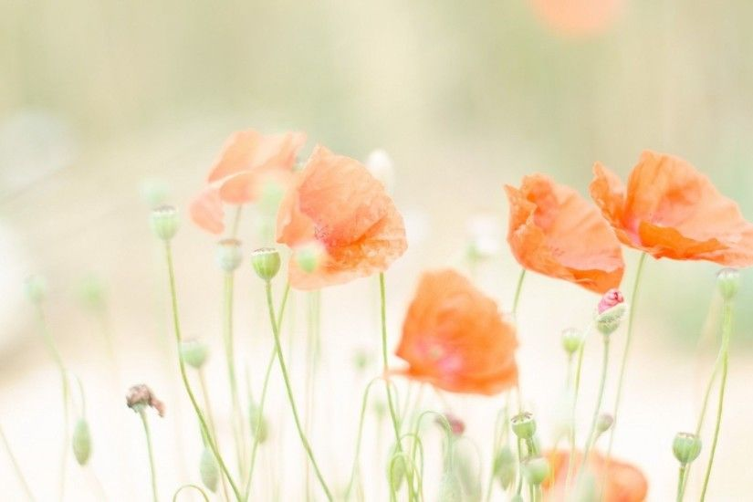 1920x1080 Poppies summer Wallpaper