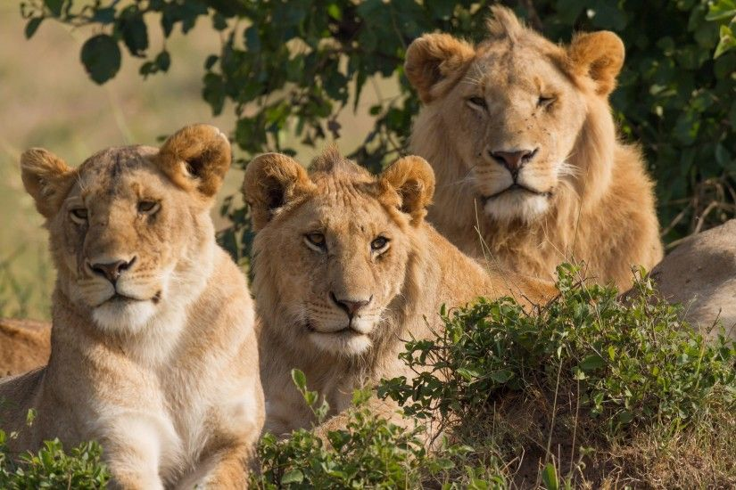 Lion Cubs 4K Wallpaper