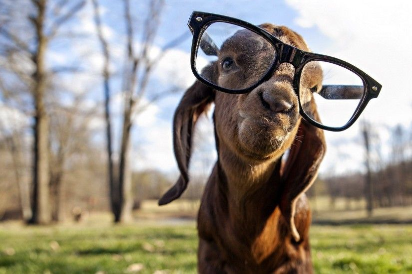 4596 Views 1014 Download Funny Gote Wear Sunglasses Photo
