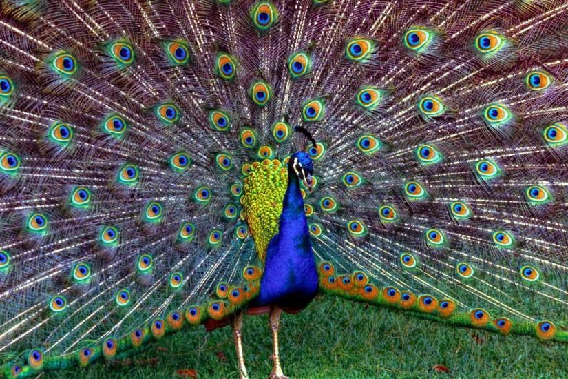 Most Beautiful Peacock Dancing Wallpapers