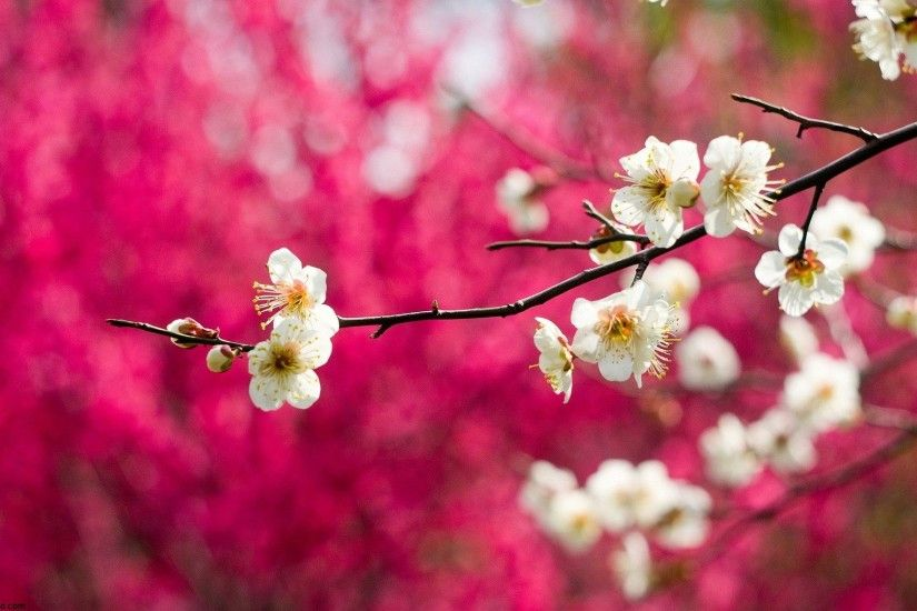 Pink Blossom Spring Tree HD Wallpaper Beautiful Landscape