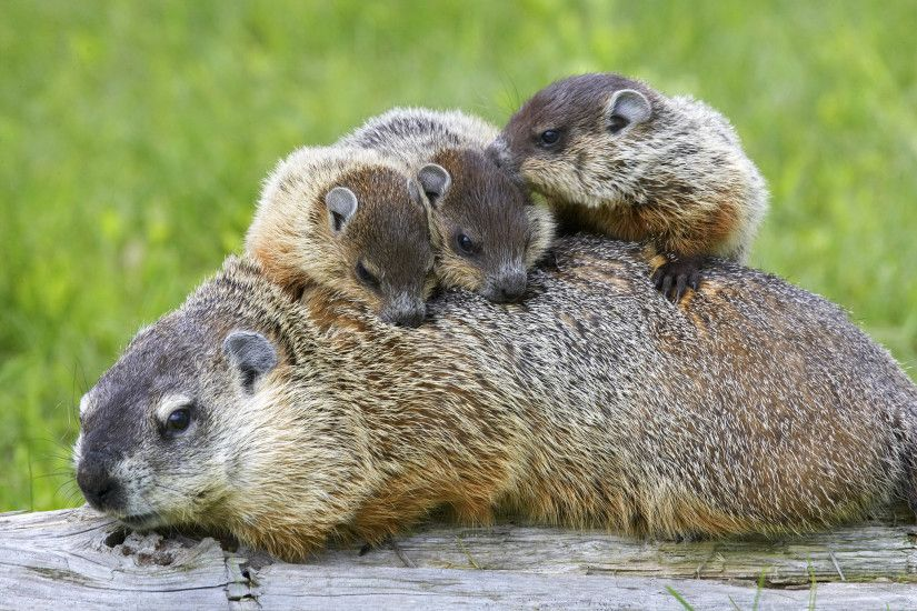 Picture of a groundhog, or woodchuck, family