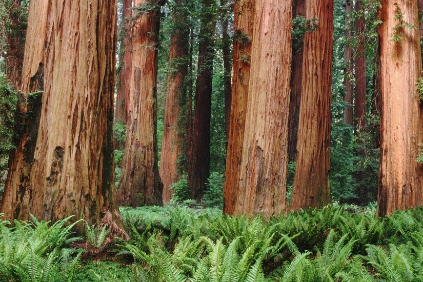 Redwood Forest Wallpaper Widescreen | Amazing Wallpapers