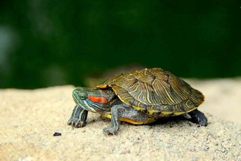 ... Turtle Wallpaper HD ...