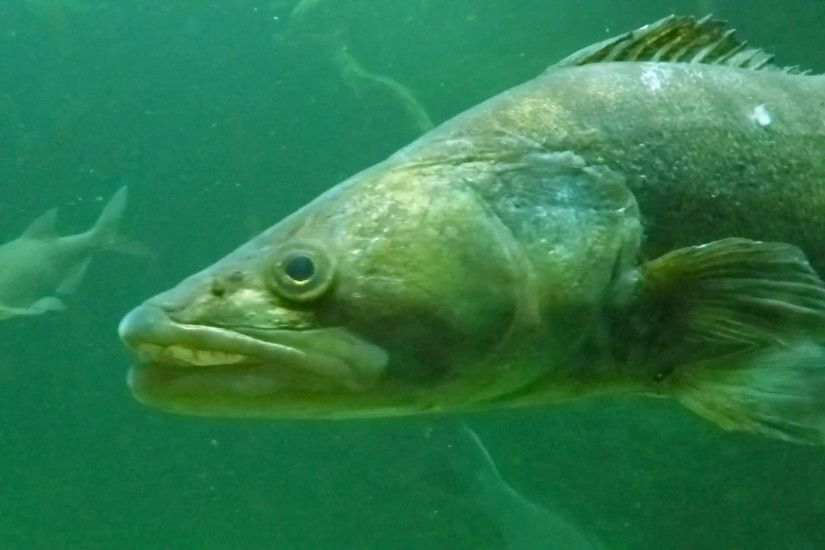 Huge Walleye, Zander or Pike-perch (Sander lucioperca). Underwater video of  fresh water fish. Animals in nature. Stock Video Footage - VideoBlocks