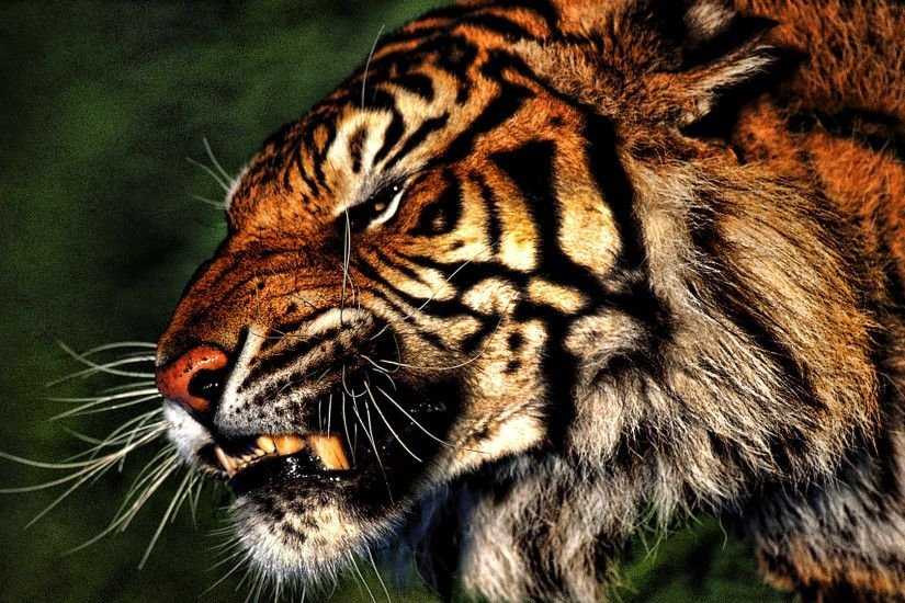 "Search Results for ""angry tiger wallpaper hd"" – Adorable Wallpapers"
