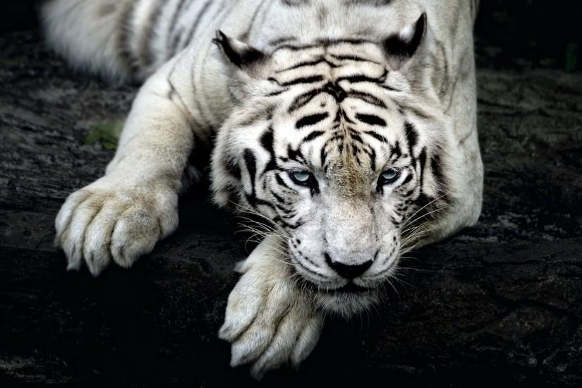 White tiger hd Wallpaper in 1920x1200