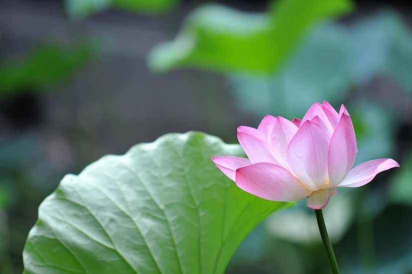 Lotus Flowers Wallpapers HD Pictures – One HD Wallpaper Pictures .