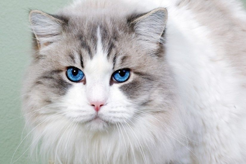 hd cat wallpapers, eyes, high definition,white, free blue, mac,
