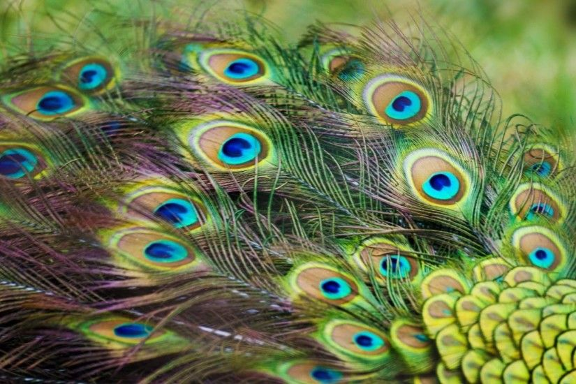 wallpaper.wiki-HD-Peacock-Feathers-Background-PIC-WPE002028