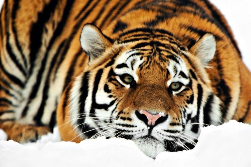 Tiger D Desktop Wallpapers Amazing Wallpaperz 1920×1080