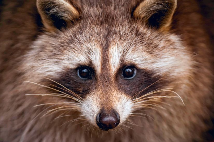 Animal - Raccoon Wallpaper