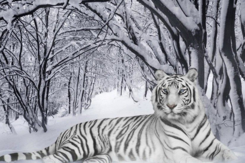 Siberian Tiger Wallpapers - Full HD wallpaper search