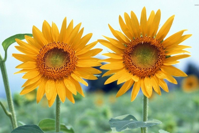 Two sunflowers wallpaper