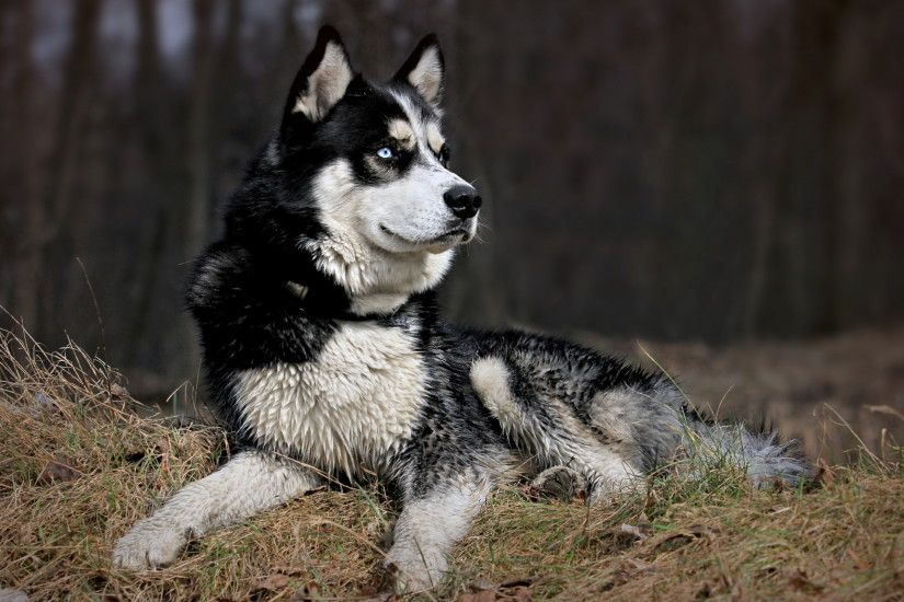 10 Fantastic HD Husky Wallpapers