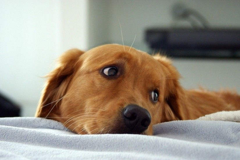 ... Golden retriever puppy eyes HD Wallpaper 1920x1200