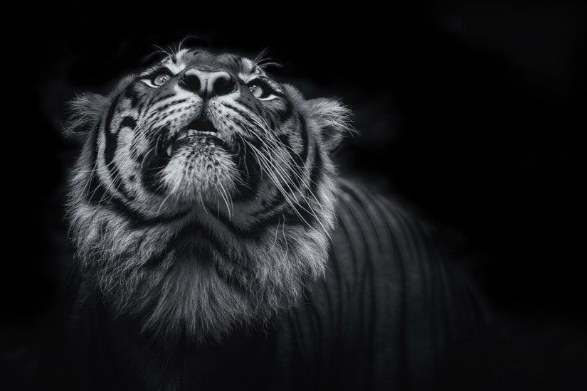 Tiger face black and white HD wallpapers