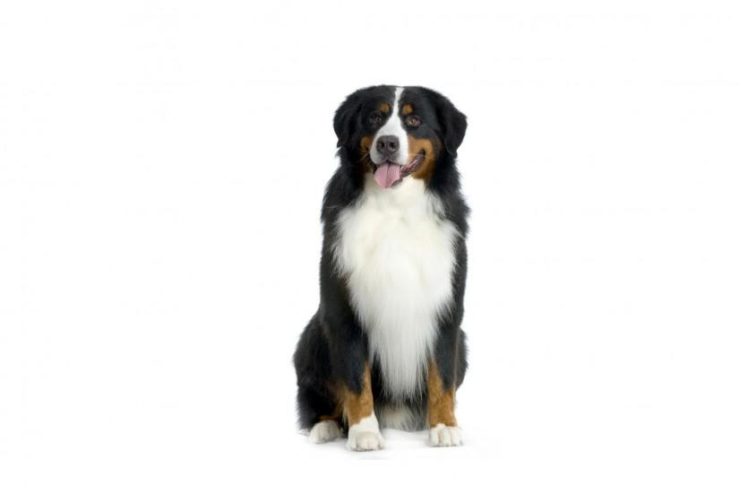 Happy Bernese Mountain Dog on a white background
