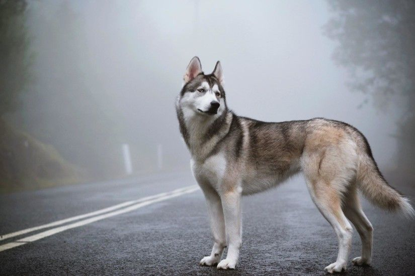 siberian husky wallpaper - photo #11