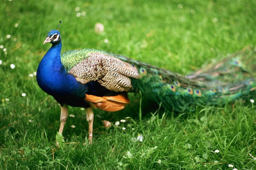 Most Beautiful Peacock In Nature Wallpapers