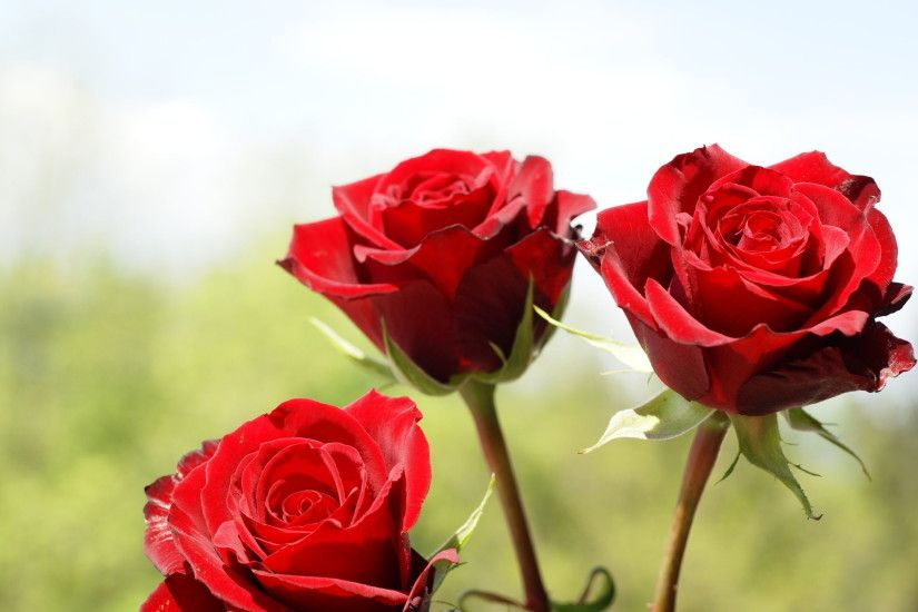 Images Of Flowers Red Rose