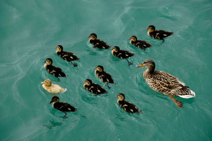 Duckling Wallpaper 35833