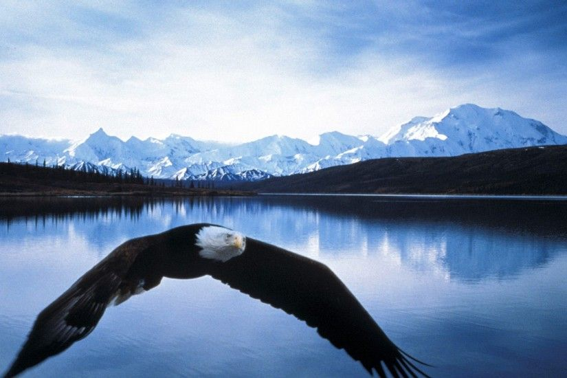 HD Bald Eagle In Flight Denali National Park Alaska Wallpaper