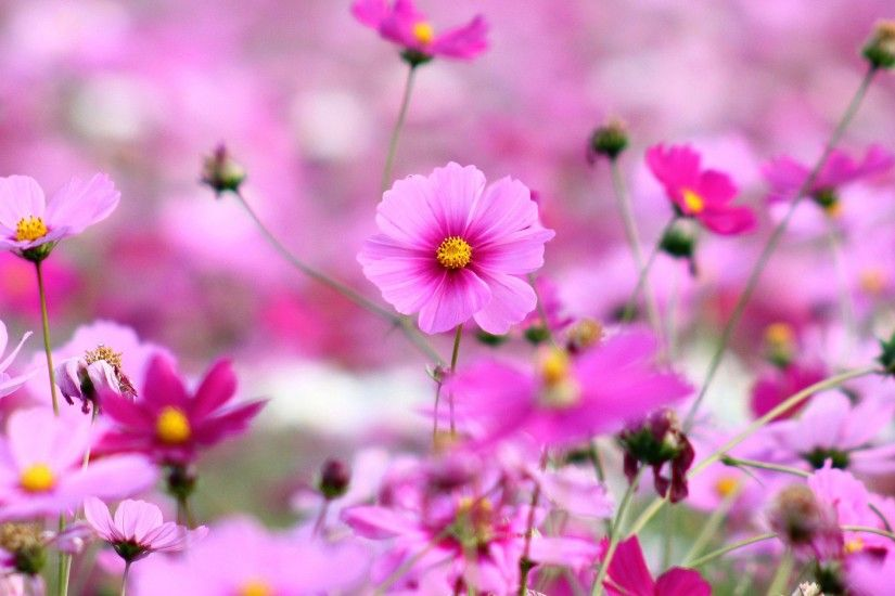 Beautiful Little Pink Flowers Wallpaper HD Desktop Free.