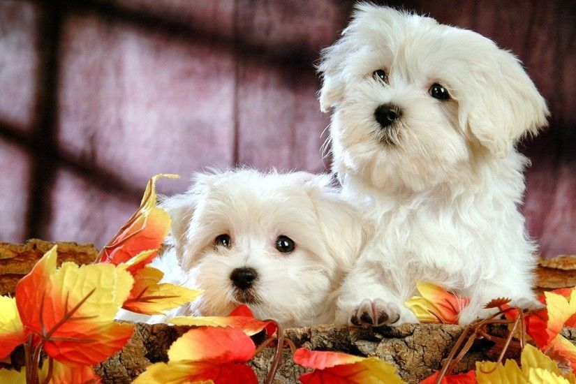 free cute puppy wallpapers wallpapersafari