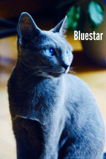 warrior cats wallpaper bluestar 183��