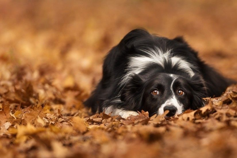 Amazing 15452 Border Collie Wallpapers | 1920x1080 px