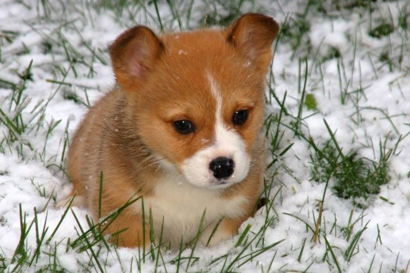 corgi puppy wallpaper Collection (54 ) ...