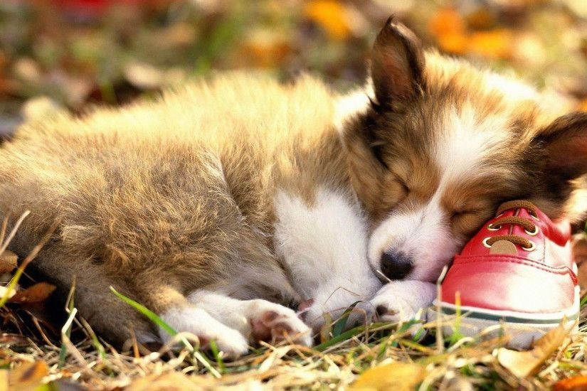 Dog · Cute Welsh Corgi Puppy Wallpaper ...