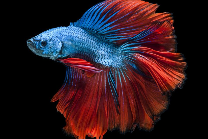 Apple iPhone Wallpaper with Red and Blue Betta Fish and Dark Background in