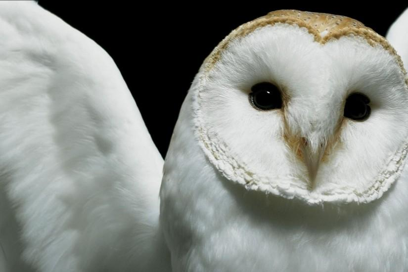 White owl wallpapers HD pictures images.