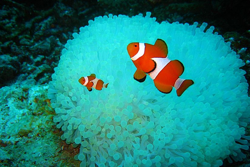 ... 57 Clownfish HD Wallpapers | Backgrounds - Wallpaper Abyss ...