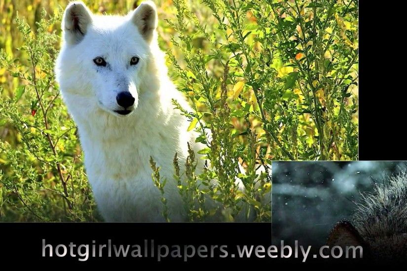 Wolves Wallpaper amazing cute images of wolves where do wolf live cool  photography - YouTube
