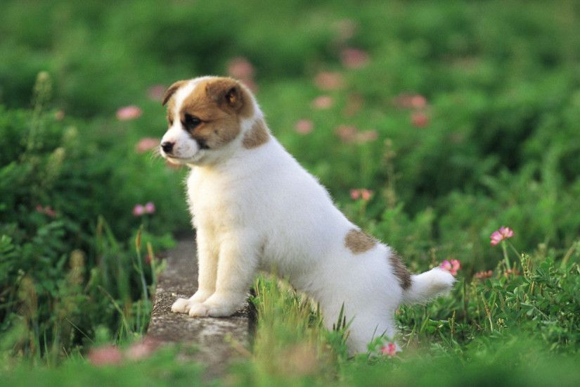 wallpaper.wiki-Free-Cute-Puppy-Wallpaper-PIC-WPD005777