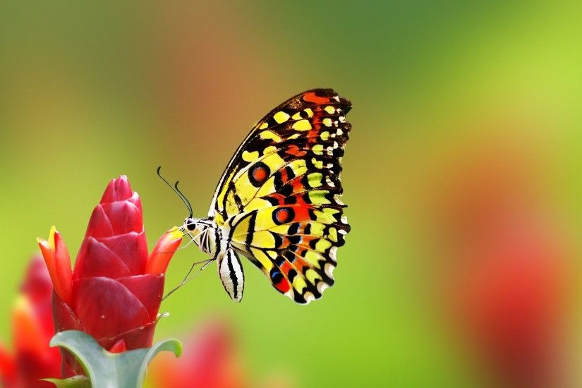 Most beautiful butterfly desktop background wallpapers