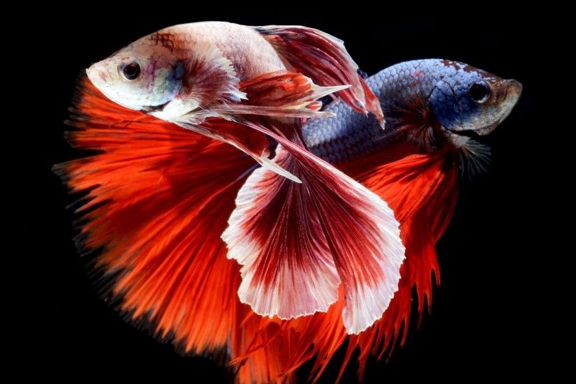 photos betta fish download desktop wallpapers high definition monitor  download free amazing background photos artwork 2060×1709 Wallpaper HD