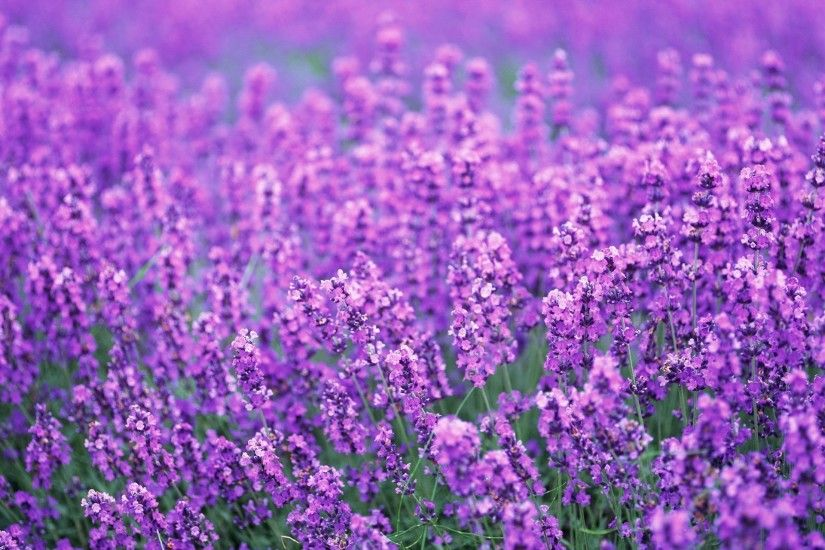 lavender purple flowers wallpapers hd background wallpapers amazing cool  tablet smart phone 4k high definition 1920×1363 Wallpaper HD