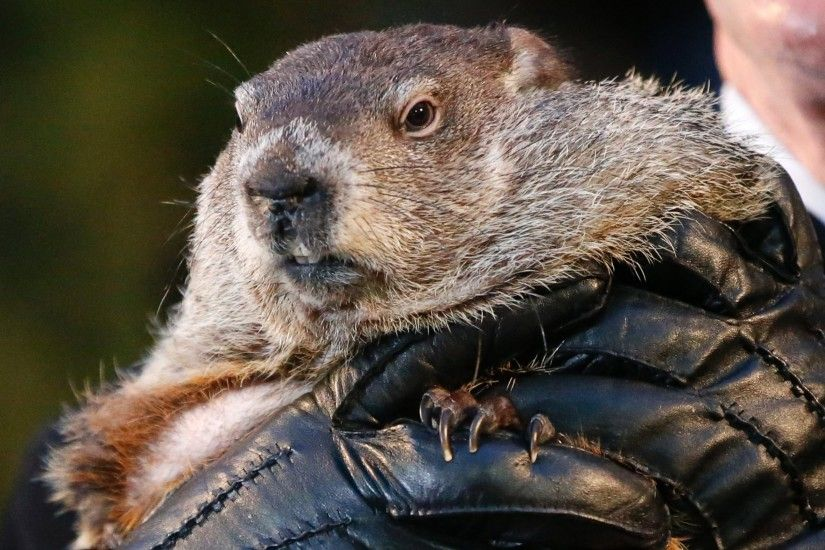 PHOTO: Punxsutawney Phil , the weather prognosticating groundhog ...