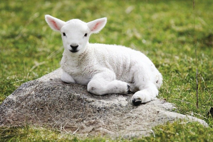 Animals Lamb x Quality HD Wallpapers