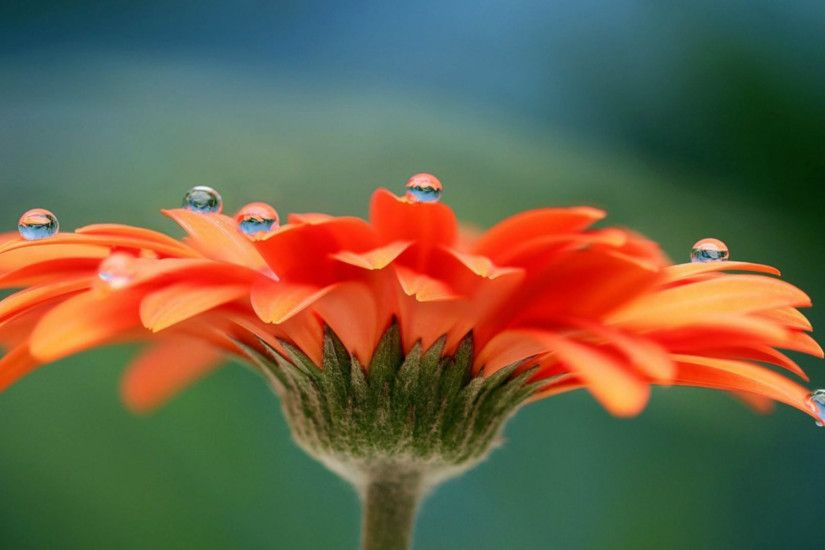 Most Beautiful Flower HD Wallpaper – Orange Flower