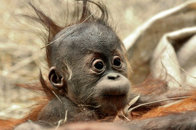 Funny Hair Baby Ape Wallpapers Pictures Photos Images2560 x  1600982.5KBwww.mrwallpaper.com