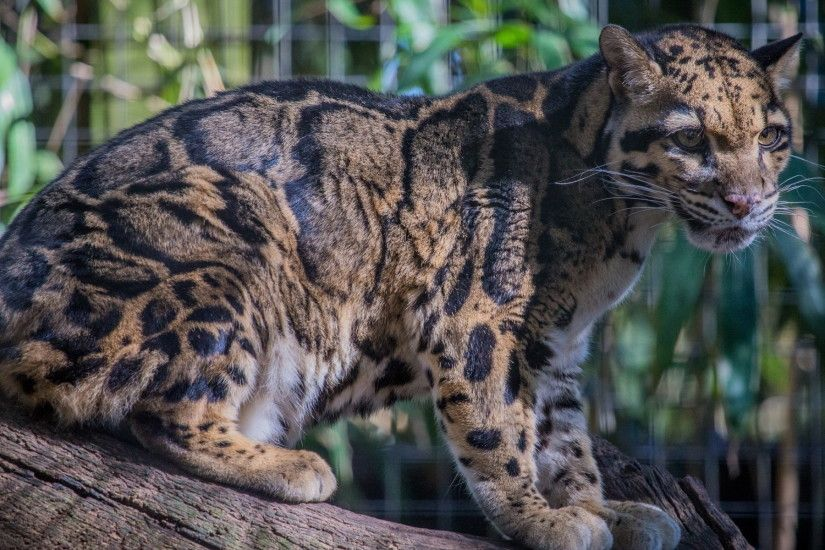 Young Clouded Leopard Desktop Background. Download 1920x1200 ...