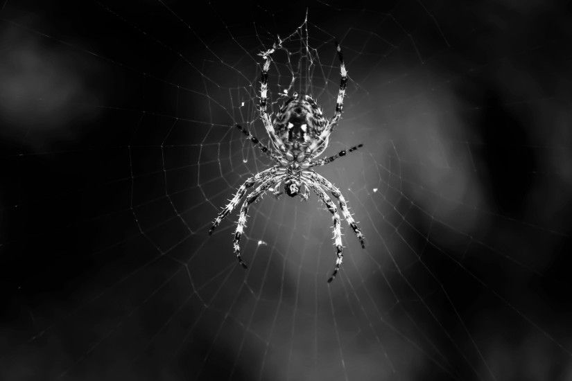 Spider wallpapers and stock photos