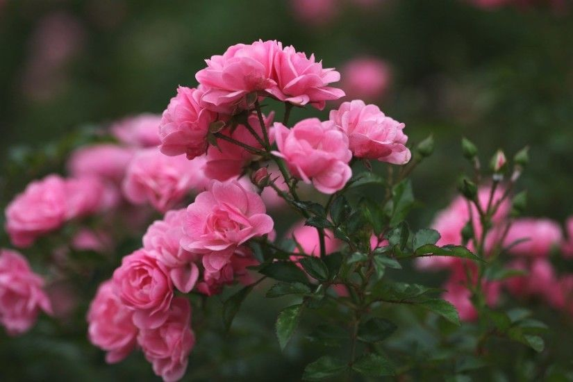 Collection of Desktop Backgrounds Flowers Roses on HDWallpapers 1920×1080  Pink Rose Desktop Wallpapers (