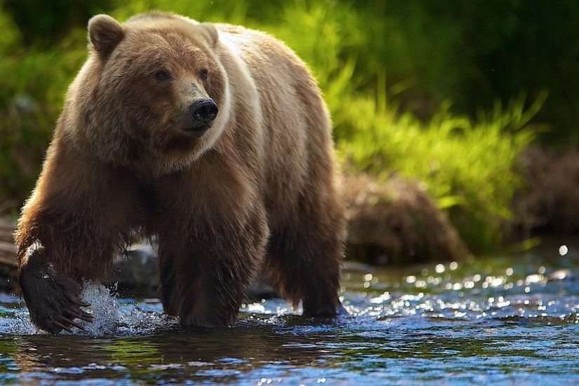 ... grizzly bear face wallpaper; bear wallpaper on wallpaperget com ...